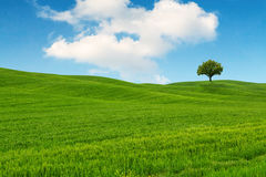 Tuscany landscape, beautiful green hills and lonely tree springt Royalty Free Stock Images