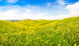 Tuscany landscape with field of flowers in Val d Orcia, Italy Royalty Free Stock Image
