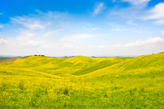 Tuscany landscape with field of flowers in Val d Orcia, Italy Royalty Free Stock Images