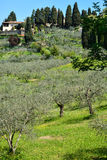 Tuscany - landscape with olive field Royalty Free Stock Images