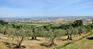 Tuscany landscape olive tree and hills Royalty Free Stock Photography