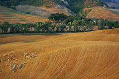 Tuscany landscape with sheeps in spring Royalty Free Stock Photography