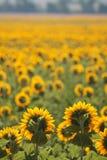 Tuscany landskap med solrosen Royaltyfri Fotografi
