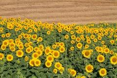 Tuscany landskap med solrosen Royaltyfria Foton