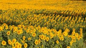 Tuscany landskap med solrosen Fotografering för Bildbyråer