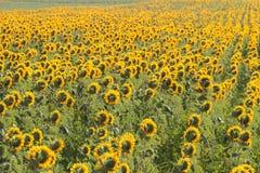 Tuscany landskap med solrosen Arkivbilder