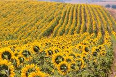 Tuscany landskap med solrosen Arkivfoton