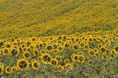 Tuscany landskap med solrosen Royaltyfri Bild