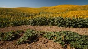 Tuscany landskap med solrosen Royaltyfri Foto