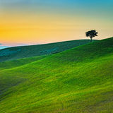 Tuscany, lonely tree and green fields on sunset. Volterra, Pisa, Royalty Free Stock Images