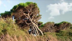 Tuscany, maritime pines. Tuscany, gulf of baratti maritime pines stock video