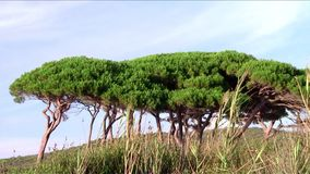 Tuscany, maritime pines. Italy, Tuscany. Maritime pines in Gulf of Baratti stock footage