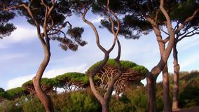 Tuscany, maritime pines. Italy, Tuscany. Maritime pines in Gulf of Baratti stock video footage