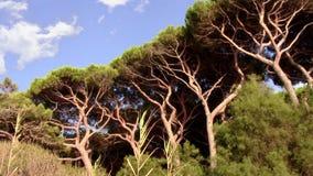 Tuscany, maritime pines. Italy, Tuscany. Maritime pines in Gulf of Baratti stock video