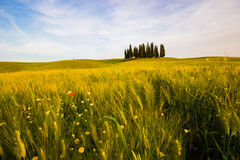 Tuscany, meadow field with cypress trees. Tuscany, meadow field with cypress trees, springtime, sunny day. rural scene. Italy Royalty Free Stock Photography