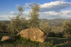 Tuscany olive tree Royalty Free Stock Image
