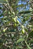 Tuscany olive tree Royalty Free Stock Photos