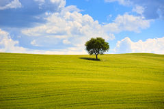 Tuscany, olive tree and green fields. Montalcino Orcia, Italy. Stock Photos