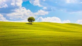 Tuscany, olivträd och gräsplanfält Montalcino Orcia, Italien Arkivbild