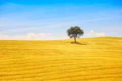 Tuscany, olivträd och gräsplanfält. Montalcino Orcia, Italien. Arkivbilder