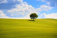 Tuscany, olivträd och gräsplanfält Montalcino Orcia, Italien Arkivfoton