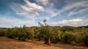 tuscany Piękni drzewa oliwne z chmurami przechodzi w niebieskim niebie zdjęcie wideo