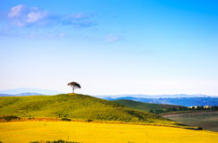 Tuscany, pine tree on hill and green fields. Siena Orcia, Italy. Stock Photo