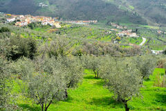 Tuscany, landscape with olive trees Stock Photography