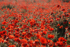 Tuscany poppies. Fields of poppies in tuscany Royalty Free Stock Photography