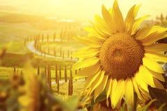 Tuscany słoneczniki obraz royalty free