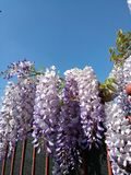 Tuscany sky wisteria Stock Photos