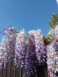 Tuscany sky wisteria Stock Photos