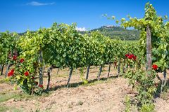 Tuscany vineyard Stock Image