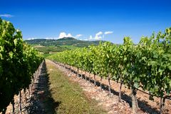 Tuscany vineyard Royalty Free Stock Images