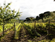 Tuscany vineyard near Pisa, Italy Royalty Free Stock Photos