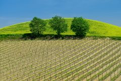 Tuscany vineyard in the spring time with green trees and blue sky. In Italy stock photo