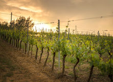 Tuscany Vineyard Royalty Free Stock Image