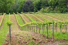 Tuscany vineyard. Vineyards in Tuscany - rural Italy. Agricultural area in the province of Siena stock photo