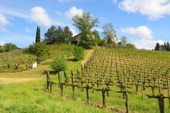 Tuscany vineyard. Vineyards in Tuscany - rural Italy. Agricultural area in the province of Siena royalty free stock images