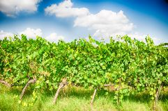 Tuscany vineyard. Tuscany vineyart in a sunny day Stock Photography