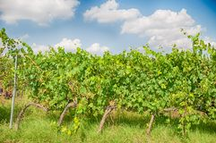 Tuscany vineyard. Tuscany vineyart in a sunny day Royalty Free Stock Photo