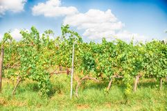 Tuscany vineyard. Tuscany vineyart in a sunny day Royalty Free Stock Images