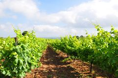 Tuscany vineyards  Italy Royalty Free Stock Photo