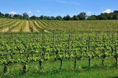 Tuscany vineyards Royalty Free Stock Images