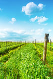 Tuscany vineyards. A Tuscan landscape with the vineyards that produce one of the most prestigious wines in the world Royalty Free Stock Photos