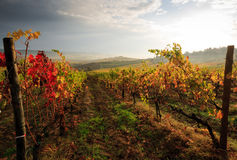 Tuscany vingård i höst Arkivbilder