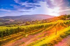 Tuscany vingårdar Royaltyfri Fotografi
