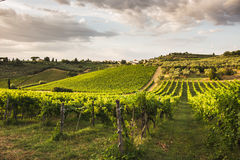 Tuscany vingårdar Arkivfoto
