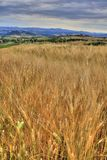 Tuscany wheat field Royalty Free Stock Photography