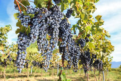 Tuscany Wine Grapes Royalty Free Stock Image